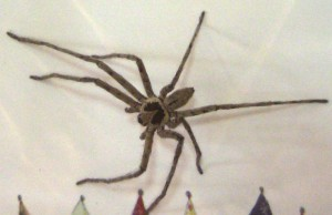 Male Huntsman Spider