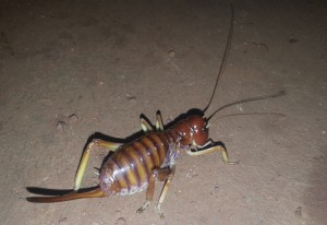 King Cricket