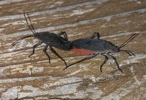 Mating Red Shouldered Bugs