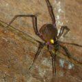 Harvestman:  Paramphere bimaculatus