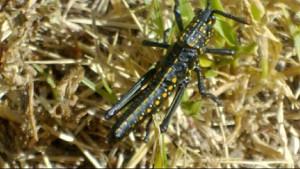 Immature Toxic Milkweed Grasshopper