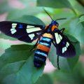 Splendrous Hornet Moth