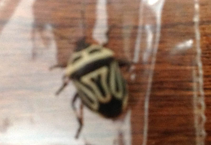 Two Spotted Stink Bug From Canada What S That Bug