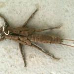 Stonefly Exuvia