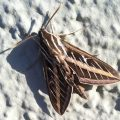 Striped Morning Sphinx