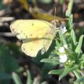 Sulphur with damaged wings