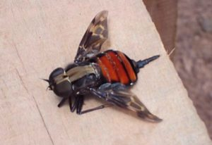 Giant Timber Fly