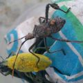 Weevil and Immature Citron Bug