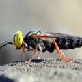 Sand Wasp or Fly???