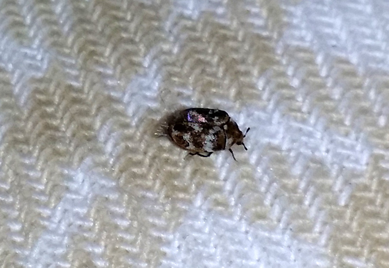 Carpet Beetle Texas Carpet Review