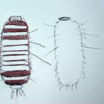 Carpet Beetle Larva Sketch