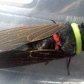 Cicada:  Tacua speciosa