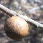 Eastern Oak Bullet Gall