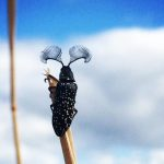 Feather Horned Beetle