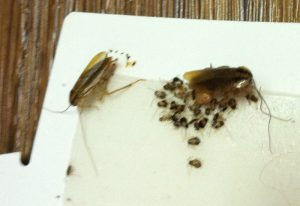 German Cockroach Family