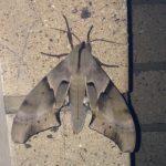 Hawkmoth:  Coequosa australasiae