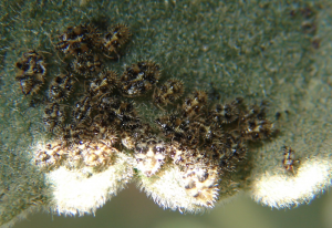 Lace Bug Nymphs