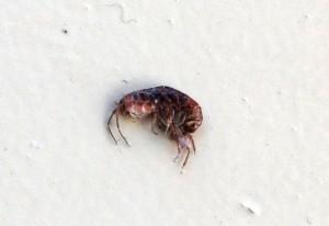 Lawn Shrimp