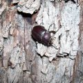Female Elephant Beetle