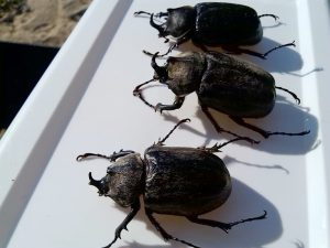 Elephant Beetle Collection