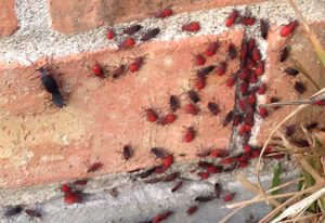Aggregation of Red Shouldered Bugs