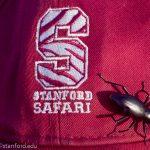 Desert Stink Beetle