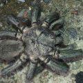 Dead Tarantula