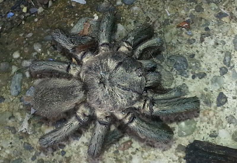 Tarantula Found Dead What S That Bug