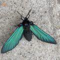 Blue-Green Wasp Mimic