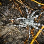 Whitebanded Fishing Spider