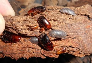 Wood Cockroaches and Woodlice