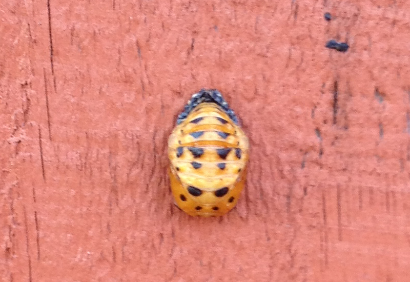 Seven Spotted Lady Beetle Pupa  Lady Bug Archives Page 4 of 23 What s That. Spotted Bugs In House   Emu Birds com