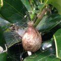 Golden Orbweaver Egg Sac