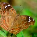 Brown Pansy