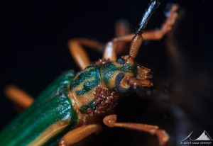 Longicorn Chlorida festiva with Phoretic Mites