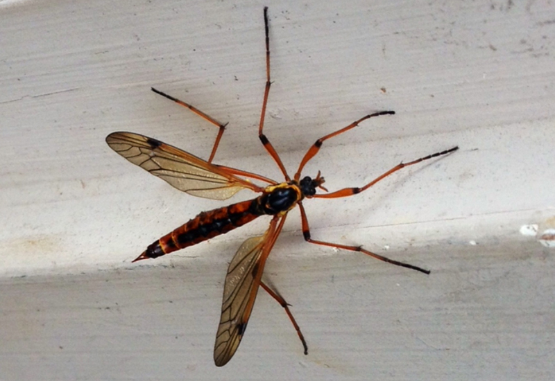 Flies and Mosquitoes of North America  Insect Bugs and