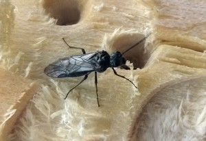 Sawfly Chews Wood!!!  But Why???