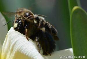 Male Eastern Carpenter Bee carries passenger Bee