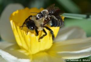 Eastern Carpenter Bee carrying passenger Bee