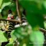 Elegant Grasshopper