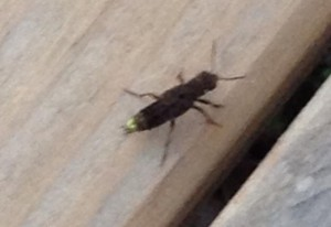 Gold and Brown Rove Beetle