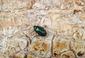 Green Tree Beetle