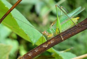 Black Legged Meadow Katydid