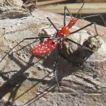 Immature Milkweed Assassin Bug