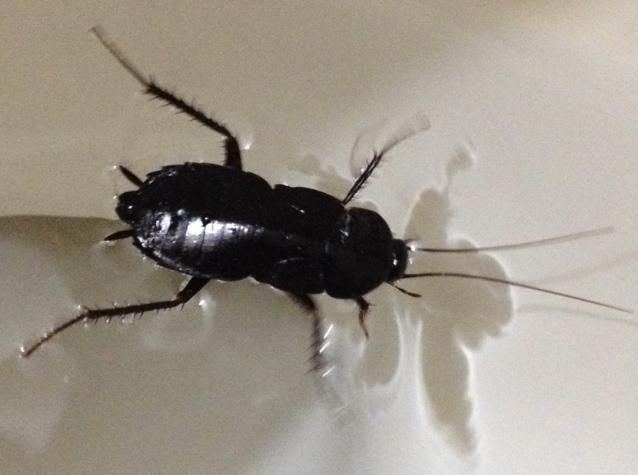 Water bug vs cockroach - photo#24