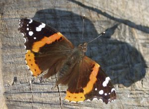 Red Admiral from our archives