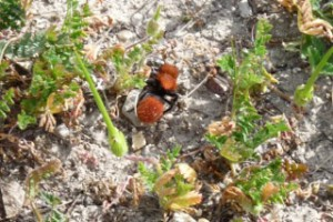 Red Haired Velvet Ant