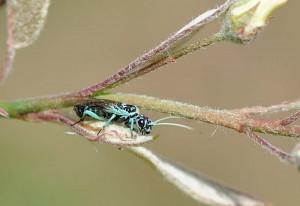 Webspinning Sawfly