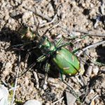 Mating Tiger Beetles