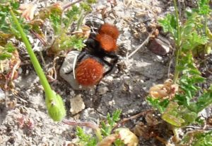 Red Haired Velvet Ant:  Larger file